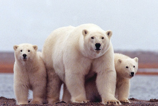 Help Stop Trump's Drilling Assault on the Arctic Refuge