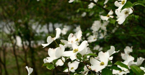 Spring Blossoms 1800