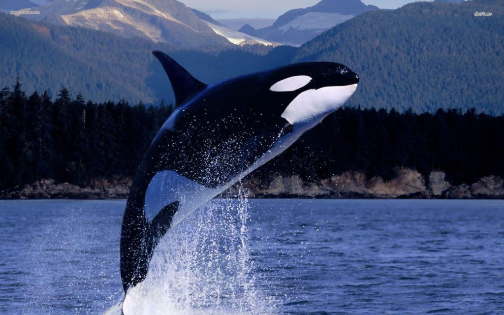 Killer Whales HD Wallpapers New Tab Theme