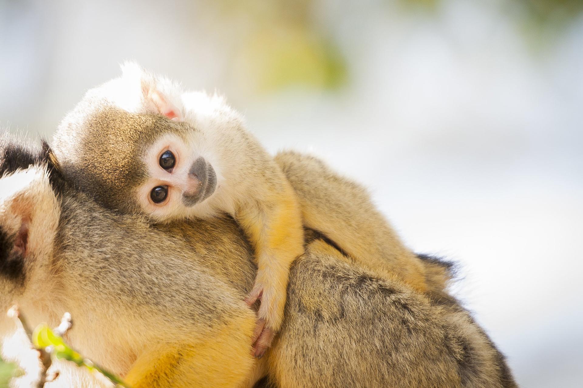 Baby monkey background wallpaper x