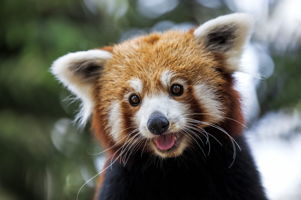 Red Panda HD Wallpaper New Tab Theme
