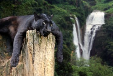 Black panther on the tree against the background of a waterfall