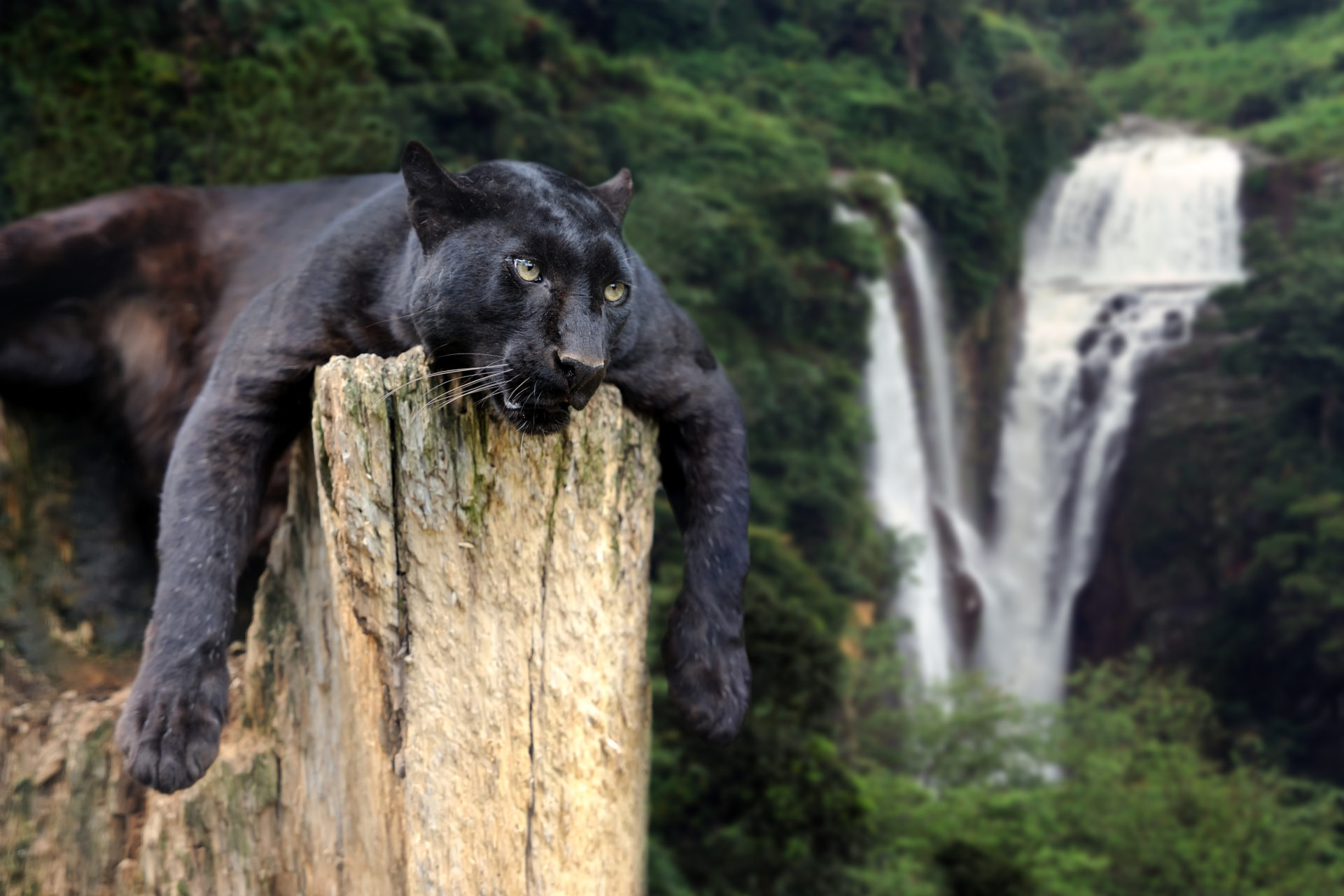 Black Panther Hd Wallpaper New Tab Theme Impressive Nature
