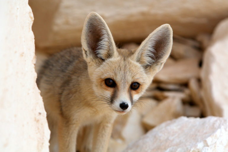 A Desert Fennec Fox, Watching its Prey