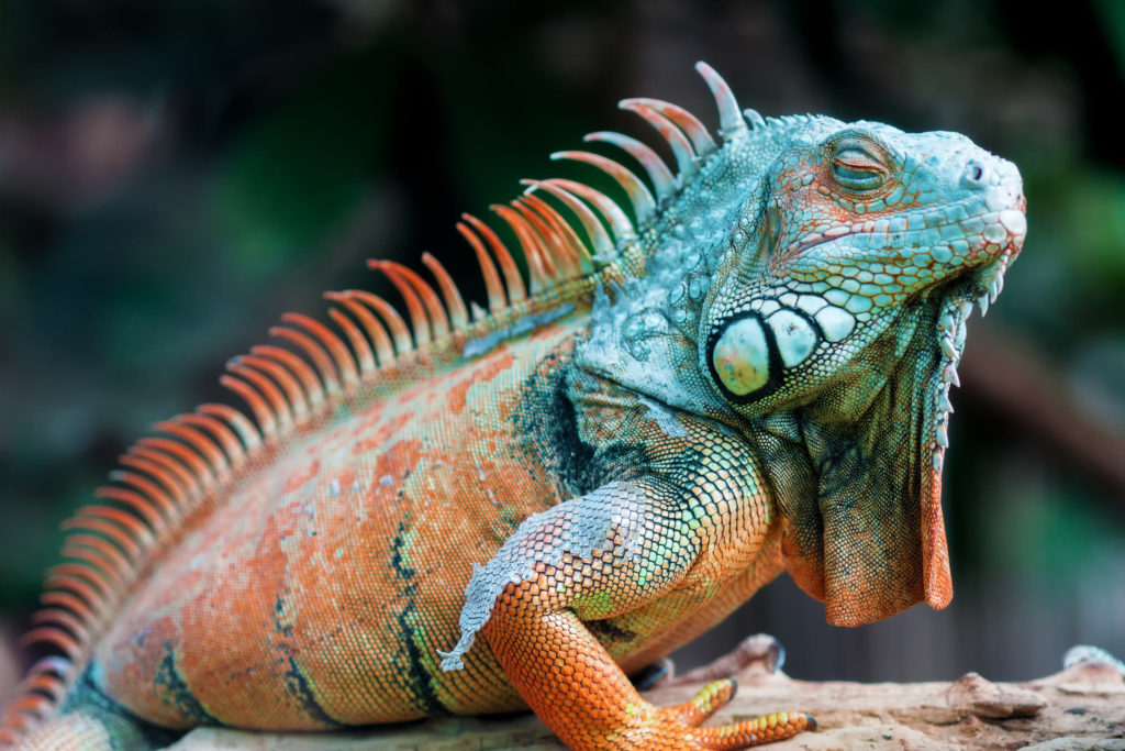 Iguana HD Wallpapers New Tab Theme