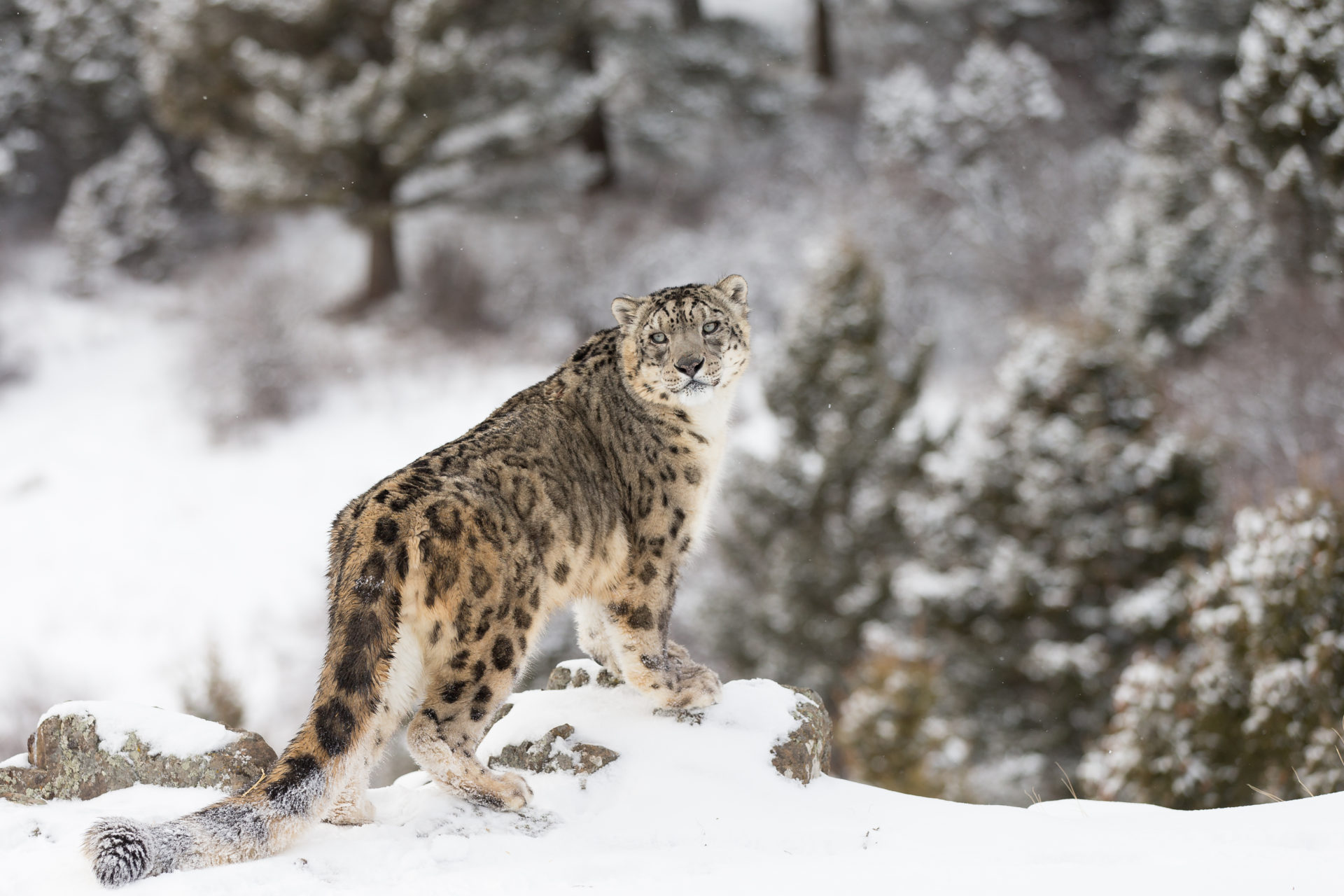 Snow Leopard Hd Wallpapers New Tab Theme Impressive Nature