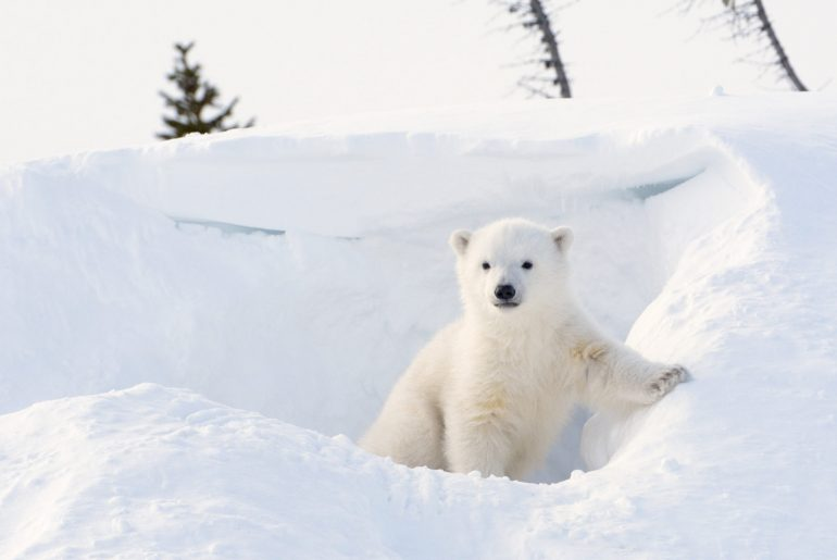 Polar bear (Ursus maritimus) cub coming out den, Wapusk national park, Canada.