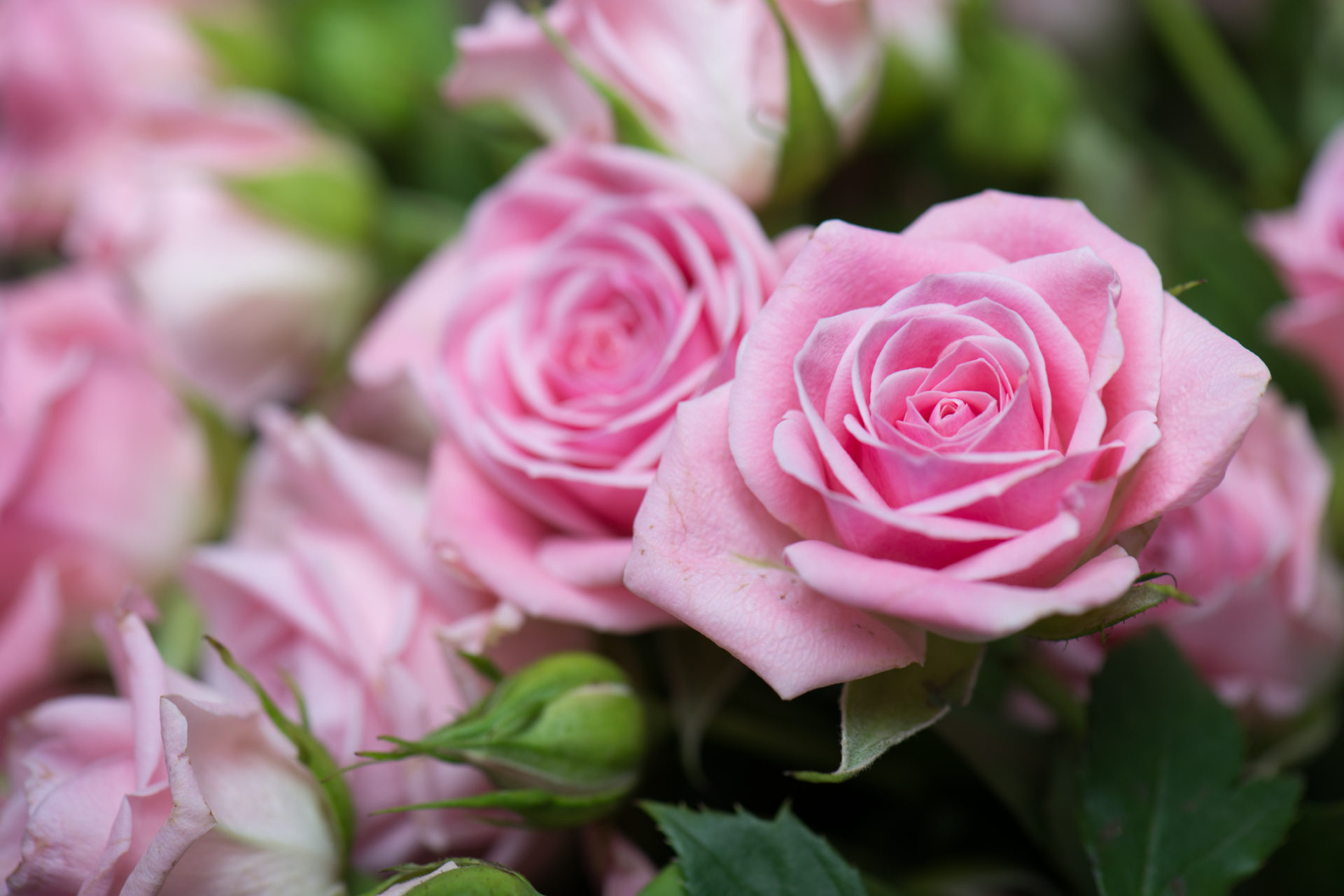 Roses Love Flowers Hd Wallpaper Theme Impressive Nature