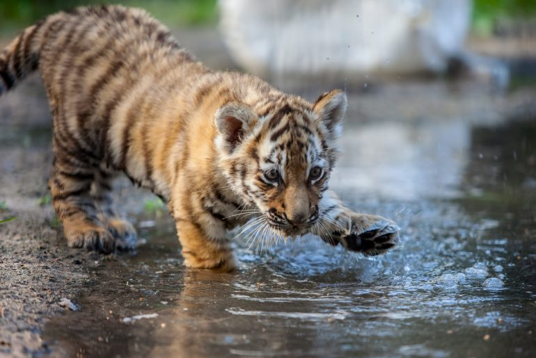small tiger cub playing with water