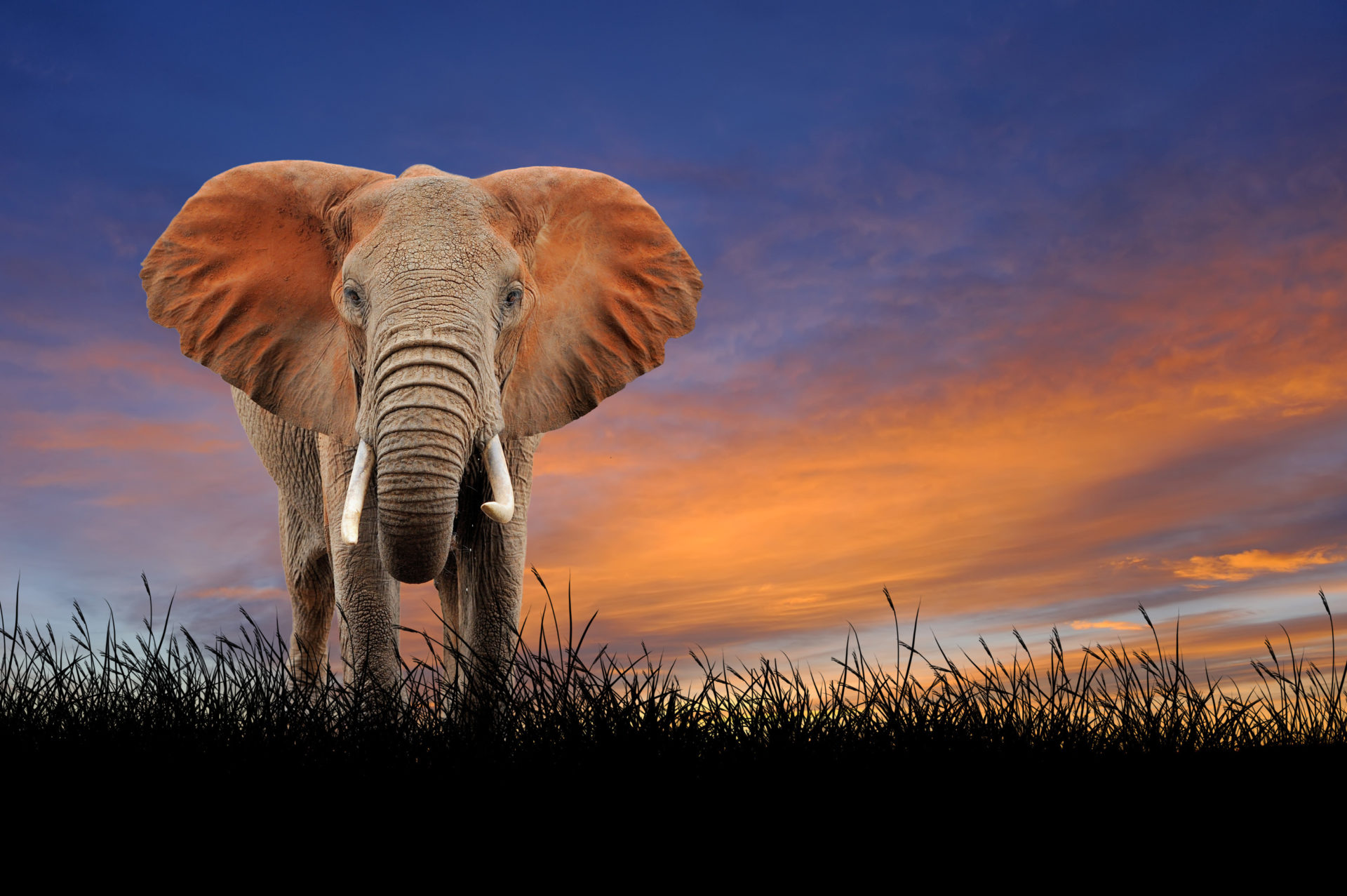 Elephant against on the background of sunset sky