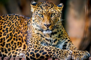african wildlife leopard in the savannah