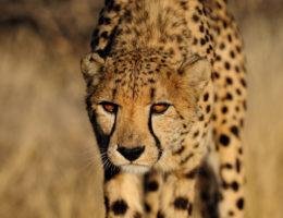 Cheetah in Lauerstellung, Namibia
