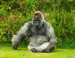 gorilla enjoying the sunlight on the grass