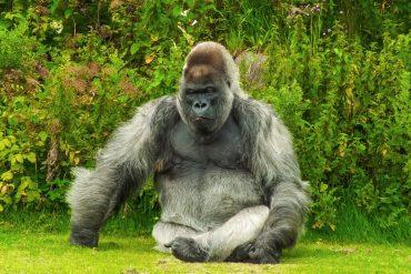 gorilla enjoying the sunlight on the grass