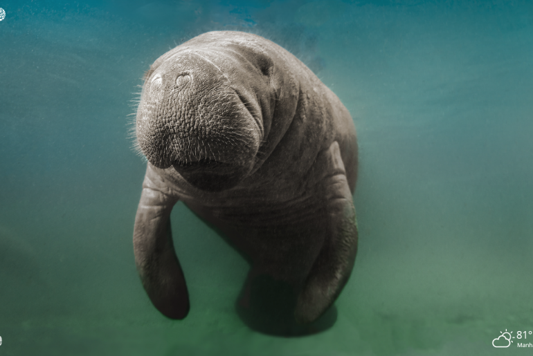 Manatee sea cow