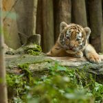 Can Baby Tigers Be Tamed?