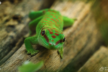 cute green gecko lizard