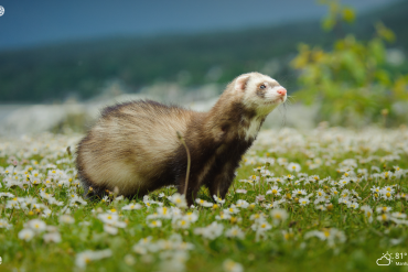 cute ferret outdoors