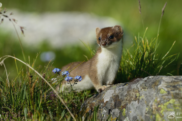 cute stoat sitting outdoors