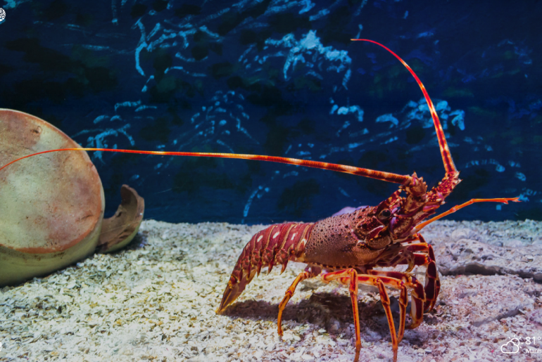 lobster in the sea