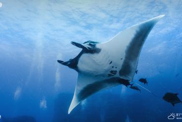 manta ray underwater