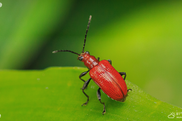 red beetle on a green leaf