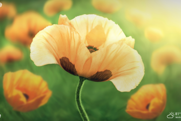 poppy flowers nature