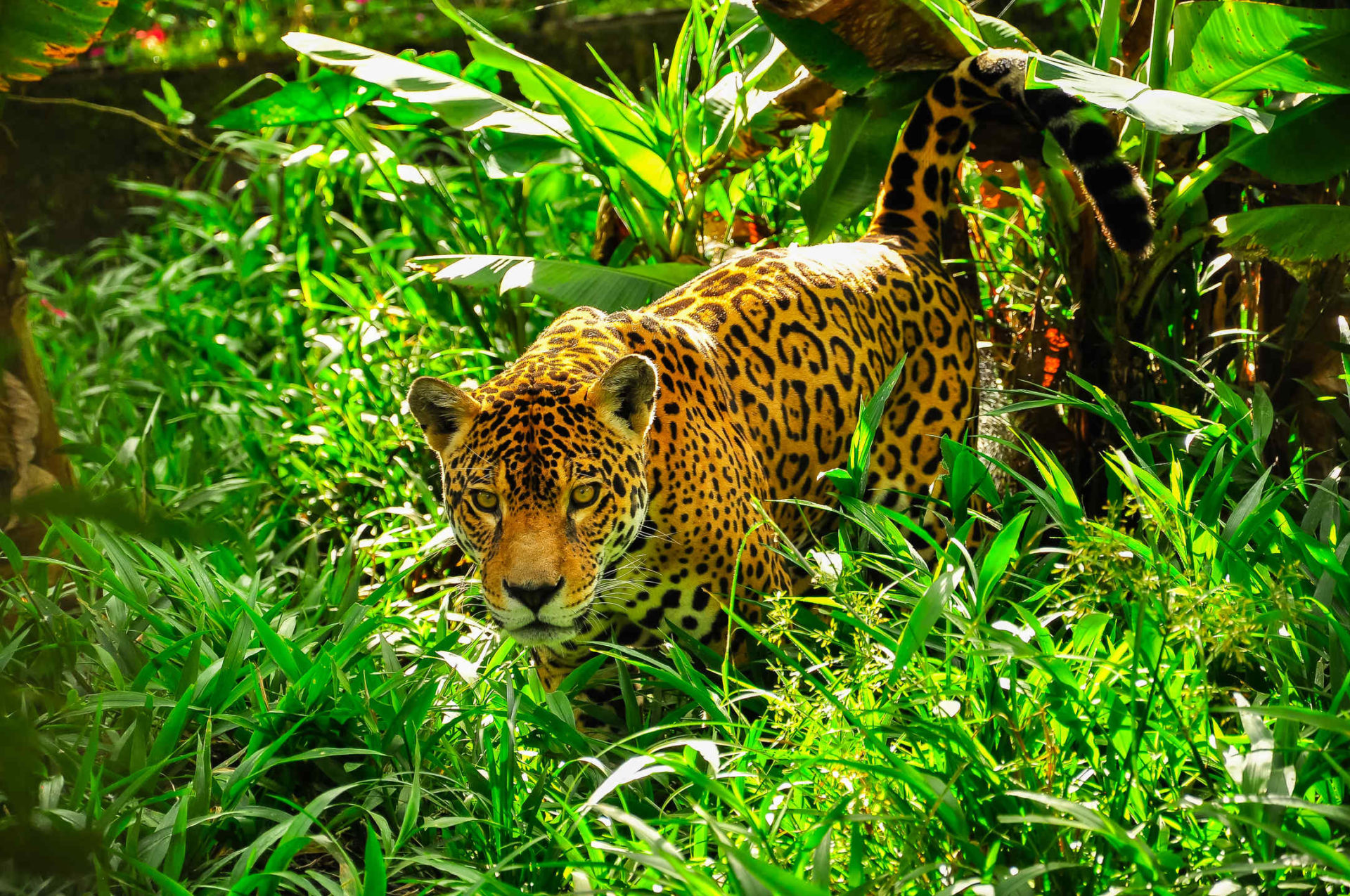 Jaguar HD Wallpapers New Tab