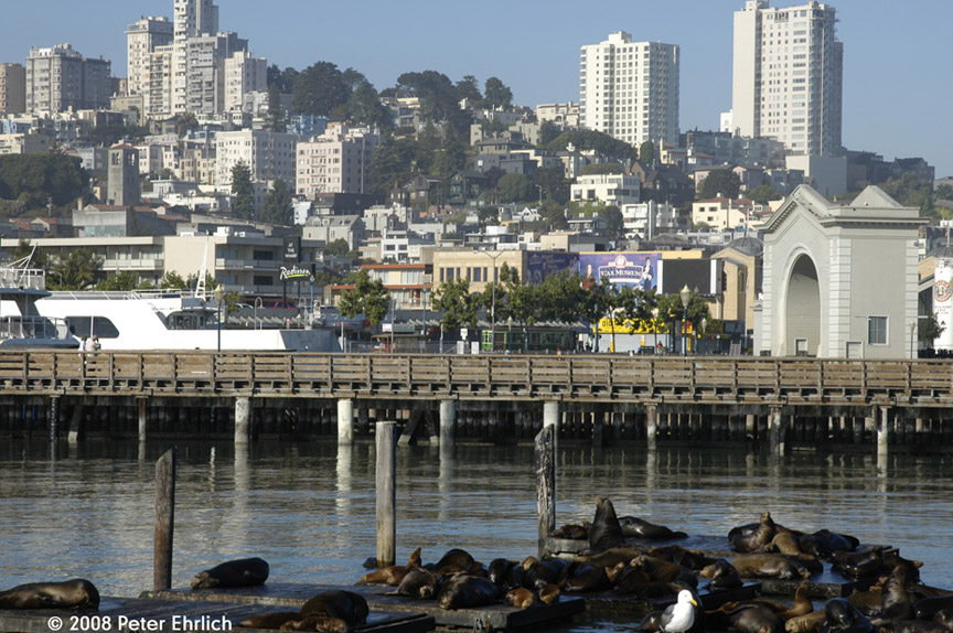 (231k, 864x574)<br><b>Country:</b> United States<br><b>City:</b> San Francisco/Bay Area, CA<br><b>System:</b> SF MUNI<br><b>Location:</b> Embarcadero/Pier 39 <br><b>Route:</b> F-Market<br><b>Car:</b> Milan Milano/Peter Witt (1927-1930)  1818 <br><b>Photo by:</b> Peter Ehrlich<br><b>Date:</b> 6/12/2008<br><b>Notes:</b> Milan car at Jefferson/Powell inbound.  With Pier 39 sea lions in foreground.<br><b>Viewed (this week/total):</b> 0 / 571