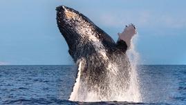 Product Whales Guaranteed - Kewalo