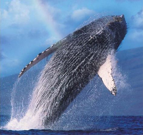 Product Kawaihae Whale Watch