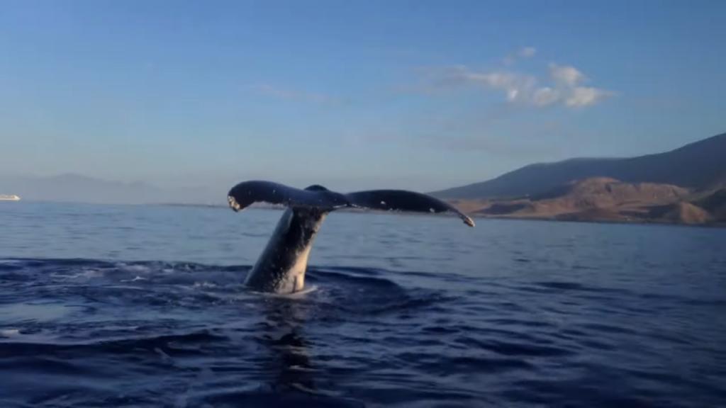Whale watching/Maui and Big Island