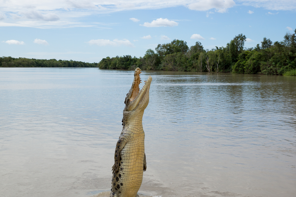 Jumping Crocodile Adelaide River