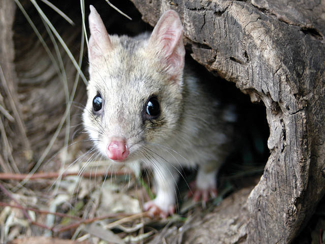 Tasmania animals