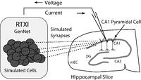 Figure 2: Schematic diagram of a hippocampal hybrid network. A set of model cells simulated with GenNet within RTXI (shaded box on left) interacts with a real pyramidal neuron being recorded with the patch-clamp technique in a hippocampal slice (right). Dark circles represent individual model cells that are connected via virtual synapses (dashed lines) to a real pyramidal neuron. A patch-clamp pipette is used to record the voltage from this neuron in real time which is then passed as input to GenNet (upper arrow). After a computational time-step has elapsed, GenNet computes the synaptic current that must be passed to the pyramidal neuron and RTXI sends this current into the cell via the pipette (lower arrow). Multiple adjacent pyramidal neurons indicate that an arbitrary number of real cells can be embedded into the hybrid network. Abbreviations refer to the regions of the hippocampal formation: mEC, medial entorhinal cortex; DG, dentate gyrus; CA3, cornu Ammonis 3; CA1: cornu Ammonis 1.