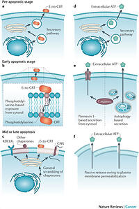 Immunogenic cell death and DAMPs in cancer therapy of Icd 9 oxygen dependent