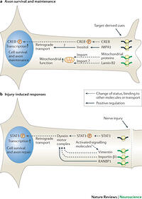 Axonal mRNA localization and local protein synthesis in ...