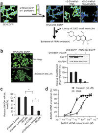 processing of t rna r rna and small rnas Eukaryotic pre-mrna processing 5' cap and poly-a tail  an enzyme complex made of protein and small rnas  if an rna hasn't been spliced,.