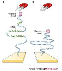 Figure 6: Single-molecule experiments to examine the effect of H-NS binding on DNA structure.Identical linear DNA molecules, with magnetic beads attached at one end and anchored to a solid support at the other, are placed under tension in a magnetic field in the presence (a) or absence (b) of the heat-stable nucleoid-structuring (H-NS) protein. The open or closed nature of the complex is a reflection of the effect of H-NS binding on the effective persistence length of the DNA55. Surprisingly, H-NS causes the DNA to form a more extended structure, in contrast to its described role as a condensing agent in the nucleoid80. Further work is required to reconcile these contrasting views of the effects of H-NS on DNA structure.