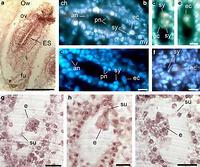 Boobs mature embryo sac can
