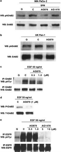 Autocrine Mediated Erbb 2 Kinase Activation Of Stat3 Is
