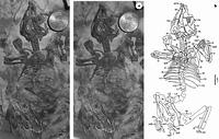 Figure 1: Zhangheotherium quinquecuspidens (IVPP V7466, holotype).Stereophotographs (a) and outline (b) of the skeleton in ventral view of the dorsoventrally compressed specimen (broken lines indicate the morphology preserved in impressions that can be examined on the silicon rubber mould of the impressions). Vertical scale bar in b represents 1 cm. Abbreviations: ac, acromion of scapula; c1–c7, cervical vertebrae 1 to 7; ca1, canine; ca2–ca4, caudal vertebrae 2 to 4 (caudal vertebrae are incomplete); cd, coracoid process of scapula; cl, clavicle; cm, calcaneum; co? coronoid fossa?; cp 1–9, carpals 1 to 9; csp, crista parotica of petrosal; ctp, caudal tympanic recess of petrosal; dn, dentary; ep, epipubis; er, epitympanic recess; fc, fenestra cochlearis (round window); fe, femur; ff?, facial nerve foramen?; fi, fibula; frs, foramen for ramus superior; fst, fossa for stapedial muscle; fv, fenestra vestibuli (oval window); g, glenoid of the scapula; gj, groove for jugal (on the squamosal); gl, glenoid fossa of squamosal; hu, humerus; ic, interclavicle; if, infraspinous fossa; il, ilium; is, ischium; i1–i3, incisors 1 to 3; ju, jugal; L1–L6, lumbar vertebrae 1 to 6 (impressions only); lm, lambdoidal crest; mas, mastoid exposure of petrosal; mc, metacoracoid; mf, mandibular foramen; mg, meckelian groove; mp1–mp5, metacarpals I–V; mt1–mt5, metacarpals I–V; mst, manubrium of sternum; mx, maxillary; oc, occipital condyle; of, obturator foramen of pectoral girdle; on, odontoid notch for dens of atlas; pc, procoracoid; pcd, condylar process of dentary; pcl, preclavicle (a homologue of procoracoid, sensuref. 50); pcr, coronoid process of dentary; pf, pterygoid fossa; pgc, postglenoid crest; pgd, postglenoid depression; pmx, premaxillary; pp, paroccipital process of petrosal; ppe, paroccipital process of exoccipital (incomplete); pr, promontorium of petrosal; prs, prootic sinus canal; ptc, post-temporal canal; pts, post-tympanic sinus; p1 and p2, premolars 1 and 2; ra, radius; r1–r13, thoracic ribs 1 to 13 (posterior thoracic ribs preserved only in impressions); sc, scapula; sl?, fossa for splenial? on the dentary; sm, stylomastoid notch; sp, spine of scapula; sq, squamosal; ss, supraspinous fossa of scapula; stb1–stb6, sternebra 1 to sternebra 6; stl, embryonic sternal bands; sym, mandibular symphysis; s1–s4, sacral vertebrae 1 to 4 (represented mostly by impression); th, attachment site for tympanohyal; ti, tibia; ts, lateral tarsal spur of ankle; t1–t13, thoracic vertebrae 1 to 13; ul, ulna; x, xiphoid process of sternum.