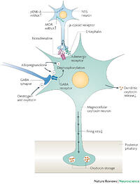 Figure 2: Magnocellular oxytocin neurons in late pregnancy.Interacting mechanisms prevent the premature activation of magnocellular oxytocin neurons, inhibiting their basal firing rate and dendritic oxytocin release. Inhibitory -opioid mechanisms that emerge in the last week of pregnancy prevent the excitation of oxytocin neurons by stimuli that act through the noradrenergic input from nucleus tractus solitarii (NTS) A2 neurons (stimuli such as circulating cholecystokinin (CCK) and interleukin-1 (IL1)). Specifically, proenkephalin-A (pENK-A) and -opioid receptor (MOR) gene expression in NTS neurons is upregulated in late pregnancy, providing -opioid-mediated presynaptic inhibition of noradrenaline release onto oxytocin neurons. Magnocellular oxytocin neurons are also subject to increased GABA (-aminobutyric acid) inhibition during pregnancy. Allopregnanolone prolongs the opening time of GABAA-receptor Cl- channels, enhancing the inhibitory GABA input. It also stimulates dephosphorylation of the GABAA-receptor subunits, maintaining GABA action. Furthermore, oestrogen and oxytocin, acting together, increase the number of GABA synapses and increase GABA inhibitory-current density. Together, these inhibitory mechanisms limit the stimulation of oxytocin secretion by extraneous stimuli, thereby preventing preterm labour and causing the accumulation of oxytocin stores for parturition. This accumulation occurs without an increase in oxytocin gene expression.