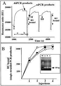 "Figure 5: A, Representative example of the increase of resonance units following injection on biotinylated CF1-CF2 PCR products from an homozygous W1282X sample. Three injections were consecutively performed (I–III). A total amount of 60 l of 2.5 m PCR products in HBS-EP was injected. After each injection (segments ""a"" of the panel), injections of HBS-EP (segments ""b"" of the panel) and 50 mm NaOH (segments ""c"" of the panel) were performed. No blank subtraction was performed. B, Comparison of the increase of resonance units following injection on biotinylated PCR products from normal subjects (open circles), homozygous W1282X samples (open squares), or heterozygous subjects (filled circles). Insert: Characterization by agarose gel electrophoresis of biotinylated PCR products from normal subjects (a), homozygous W1282X samples (b), or heterozygous subjects (c)."