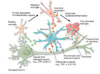 Figure 1: Microglia respond to several types of immunological alarm signals.Endogenous factors include cytokines, material from apoptotic cells and aggregated proteins such as prions. Exogenous factors include viral envelope glycoproteins. In response, microglia can undergo several different levels of activation, finally resulting in a fully functioning phagocytic cell. Activated microglia can be friends or foes to neighboring neurons. As friends, they can clear toxic material (apoptotic neurons, protein aggregates), secrete neurotrophic factors such as BDNF and protective factors such as glutathione and increase clearance of excitotoxic glutamate by astrocytes. Microglia can also secrete potentially neurotoxic molecules such as proinflammatory cytokines (TNF-α, IL-1β), glutamate, free radical species and nitric oxide. Findings by Boillee et al. suggest that microglia have a central role in neuronal damage in ALS; but because these cells also have a friendly side, it's not yet clear how to manipulate them to minimize their damaging effects.Kim Caesar