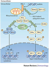 The role of the IAP E3 ubiquitin ligases in regulating ...