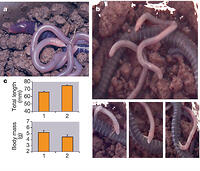 Figure 1: Skin feeding in B. taitanus.a, Female with unpigmented young. b, Various stills from video footage of a young animal peeling and eating the outermost layer of its mother's skin. c, Changes in mean total length (n = 66, P < 0.001; t-test) of young (top) and mean body mass (n = 15, P < 0.001; paired t-test) of mothers (bottom) between a first (1) and a second (2) measurement after one week of parental care. Error bars show s.e.m.
