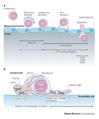 contributions of selectins during vascular adhesion in In 1990s it was known and well accepted that integrins, immunoglobulin super family members, and selectins were the molecules responsible for leukocyte interaction with vascular endothelium during the multistep extravasation cascade (20, 124.