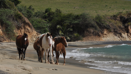Horses on beach in Spanish Virgin Islands