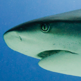 Shark Conservation Day, August 8 | Oceanscape Network